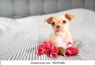 Tiny Tan Colored Chihuahua Puppy Playing with Red Ribbons