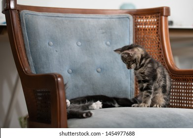 Tiny Two Month Old Kittens Hanging Out on Blue Vintage Chair