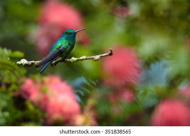 Tiny and uncommon blue and green hummingbird Blue-chinned Sapphire Chlorostilbon notatus perched on twig with pink mimosa flowers in blurred background. Trinidad,
