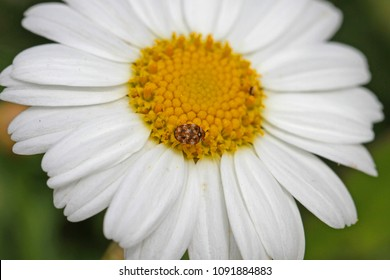 Tiny varied carpet beetle Latin anthrenus verbasci collecting pollen on a marguerite flower very close to in Italy in springtime