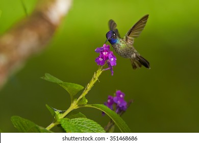 Tiny Violet-headed Hummingbird Klais guimeti pallidiventris feeding from violet lavander flower. Outstretched wings, green background.