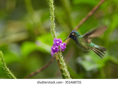 Tiny Violet-headed Hummingbird Klais guimeti pallidiventris feeding from violet lavander flower. Outstretched wings, green garden with some violet flowers in blurry background.
