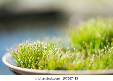 Tiny water grass