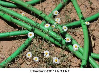 Tiny white daisies green hose