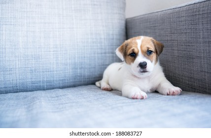 Tiny White and Fawn Cute Puppy Sitting on Sofa at Home