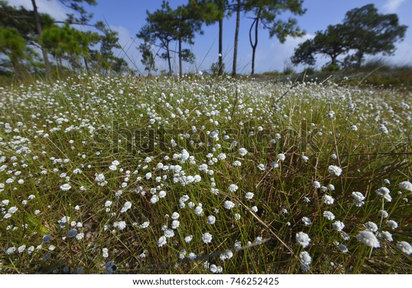Tiny white flower spread all over a field
