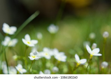 Tiny White Flowers and Buds Growing in the Grass in the Spring