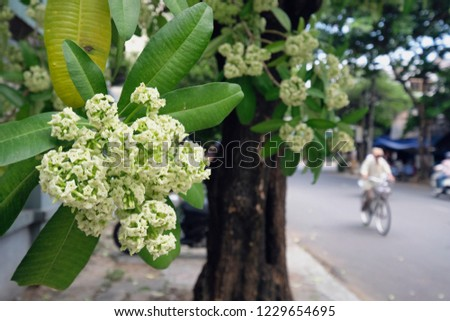 Tiny White Flowers Devil Tree Scientific Stock Photo Edit Now