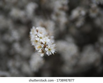 Tiny white flowers on a branch of a blooming bush