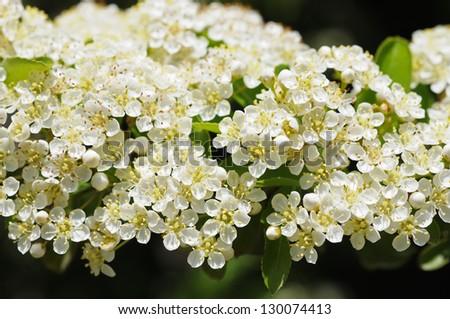 Tiny white flowers tree bright lit stock photo edit now 130074413 tiny white flowers of tree bright lit by sun mightylinksfo