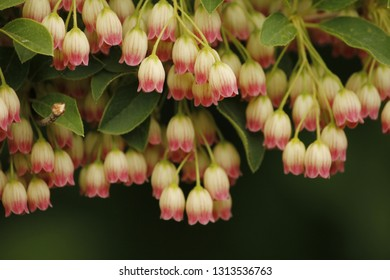 Bell Shaped Pink Flower Images Stock Photos Vectors Shutterstock