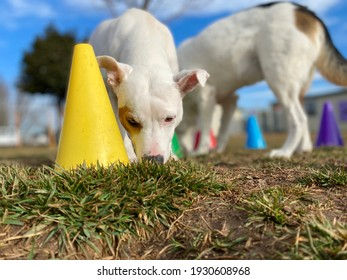 Tiny white pit bull chihuahua mixed breed dog engaged in contra- freeloading activity searching for food under bright colorful cones on the grass at a canine enrichment boarding and training center