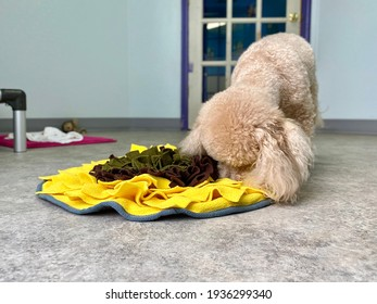Tiny white poodle playing scent work game  searching for food in the snuffle mat feeder in the dog suite at the canine enrichment boarding and training center