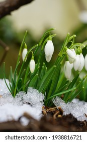 Tiny white snowdrop galanthus flowers in bloom emerge through the ground and snow in winter