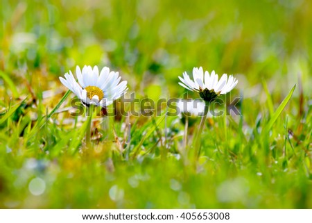 Tiny White Spring Flowers Grass Stock Photo Edit Now 405653008