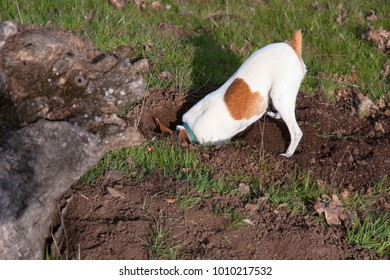 tiny white and tan toy fox terrier digging for gophers in the woods with its head nearly buried and its butt in the air