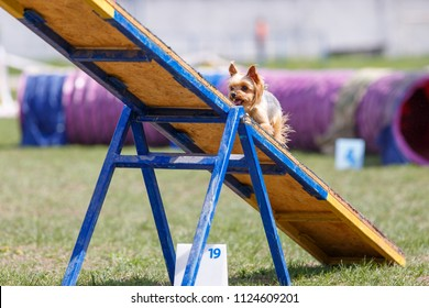 Tiny yorkshire terrier walking on the seesaw obstacle in agility competition