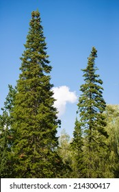 the tip of the high pines against the blue sky