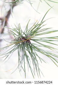 Tip of pine tree with gold thread
