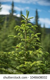 The tip of a young evergreen tree showing fresh new growth
