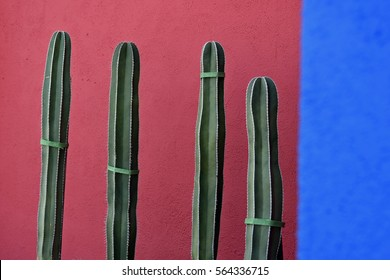 Tips of four columnar cacti in front of a wall painted bright blue and red