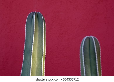 Tips of two columnar cacti in front of a wall painted bright red
