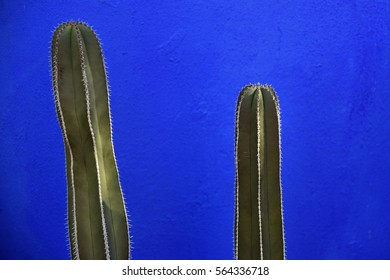 Tips of two columnar cacti in front of a wall painted bright blue
