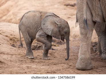 Tired baby African Elephant
