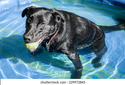 Tired black labrador retriever dog with green ball sitting and relaxing in small blue plastic pool full of water