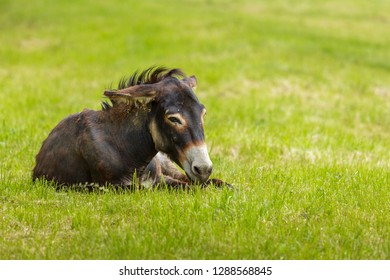 Tired brown donkey (Equus africanus asinus) lying down in the grass.
