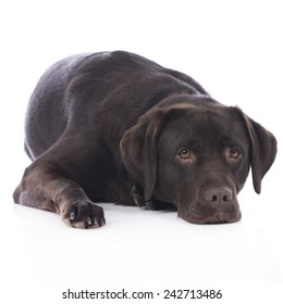 Tired Brown Labrador retriever