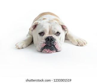 tired bulldog over white