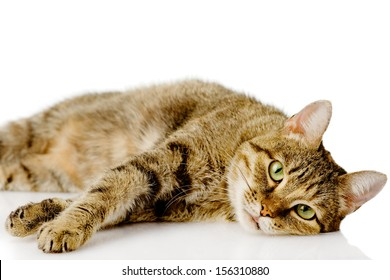 tired cat. isolated on white background