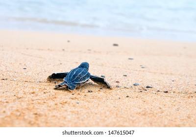 Tired cherepashonok hard crawls to okeanuya. Shallow depth of field