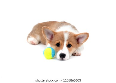 tired corgi puppy lying down with ball isolated on white background