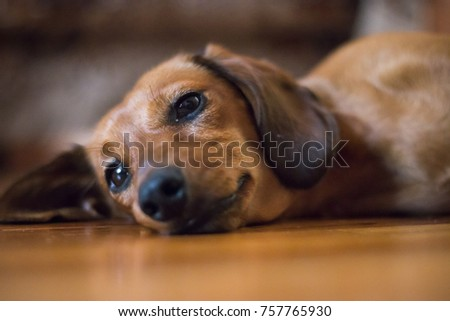 Tired Dachshund Puppy