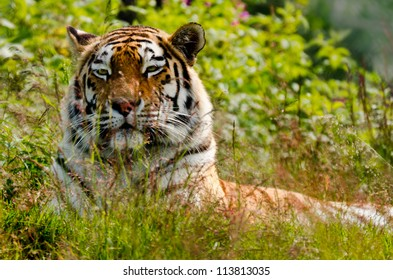 Tired dangerous tiger resting in the grass