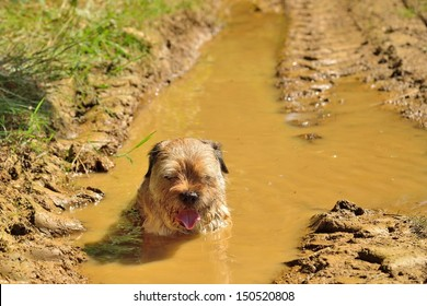 Tired dog (border terrier)  in a mud puddle