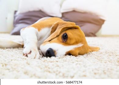 Tired dog on carpet. Sad beagle on floor. Dog lying on soft carpet after training. Beagle with sad opened eyes indoors. Beautiful animal background.