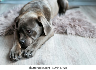 A tired dog sleeping on a gray blanket