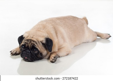 tired fat pug dog lying on the ground it looks a bit boxy