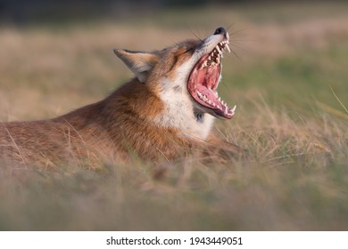A tired fox. Red fox (vulpes vulpes) with sunset, photographed in the dunes of the netherlands.