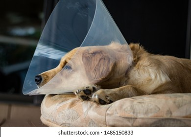 "Tired Golden Retriever puppy wearing the ""cone of shame"" after surgery. Spay and neuter. Veterinarian recommended. Young dog"