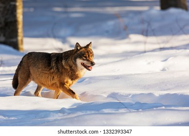 tired gray wolf (Canis lupus) at snowy woods