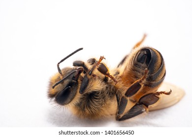 Tired honey bee lying down upside down with the whole body in focus on a white background