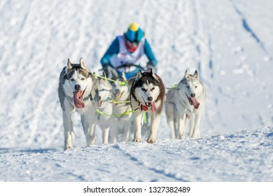 Tired husky dogs climb the hill