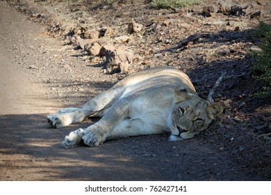 Tired lion in the Kruger National Park, South Africa