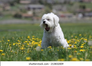 A tired little white dog yawning at the park in the green grass and yellow dandelions.