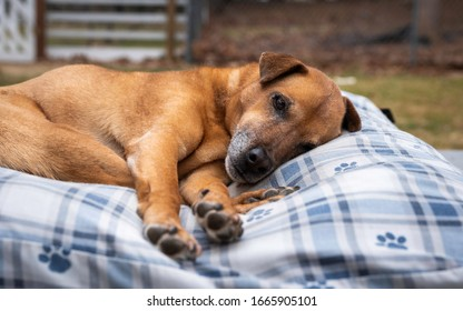 Tired old dog lying on a comfortable dog bed outdoors and staring at camera
