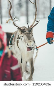 tired Reindeer in harness during of winter day.